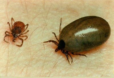 Image result for deer ticks