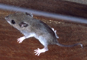 White-Footed Mouse: Lyme Disease Bacteria Source